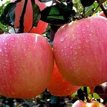 山西芮城县红富士苹果批发零售_山西芮城县红富士苹果价格