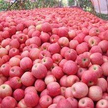 供应产地直销山西红富士苹果量大从优图片
