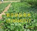 上海菠萝草莓苗二代草莓苗