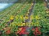 北京圣诞红草莓苗发芽最好的草莓苗品种