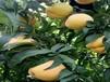 4公分晚熟桃樹苗能簽合同的桃苗廠家