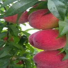 目前新品种油桃树苗.目前新品种油桃树苗周期管理要点图片