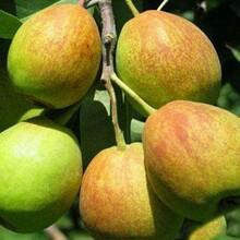 夏绿梨树苗定植一年管理技术要求图片