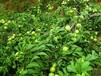 芙蓉李子树打包运输规范,成活率高
