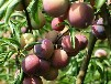 斯坦雷李子苗.斯坦雷李子苗适合安徽省种的李子树苗品种