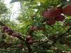 新品种李子树苗.新品种李子树苗适合江西省种的李子树苗品种