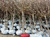黑霸李子树苗效益最好的李子树苗品种