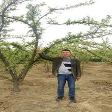 黑琥珀李子苗.黑琥珀李子苗适合江西省种的李子树苗品种图片