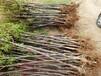 梅李女神李子苗含糖量最高的李子树苗品种