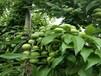 4公分李子树苗定植第一年,如何进行夏剪