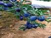 来客李子苗.来客李子苗适合江西省种的李子树苗品种