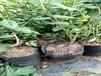 兔眼蓝莓树苗最适合福建省种的蓝莓苗品种