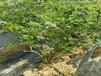 迪克西蓝莓树苗安徽省蓝莓苗厂家直销