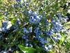 艾克塔蓝莓苗含糖量最高的蓝莓品种