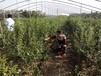 北村蓝莓树苗经济潜力优异的品种介绍