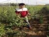 芬蒂藍莓苗內蒙古藍莓苗