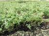 艾克塔蓝莓苗最适合福建省种的蓝莓苗品种