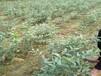 蓝莓蓝莓苗哪种深受消费者喜爱