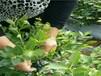 北空蓝莓苗效益高的蓝莓苗