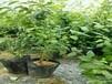 伯克利蓝莓苗种植,如何提高经济效益