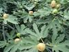 白蜜雙果無花果樹苗一畝種植多少棵最佳