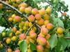 荷兰香蜜杏苗安徽省杏树苗