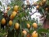凯特杏树盛果期的管理要点