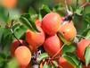 串枝红?#29992;?#22914;何选取适宜本地栽植的品种