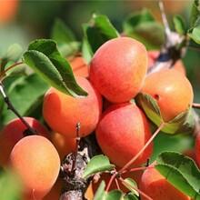 珍珠油杏树苗适宜种植的地点图片