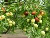 沾化2號棗苗最受民眾歡迎的品種介紹