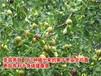 新金丝枣树苗含糖量最高的枣品种