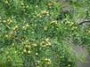 夏枣树苗种植技术