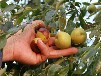 新疆棗樹苗種植園建園標準