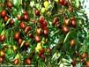 中华大龙枣树新品种枣树苗价格