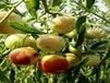 新疆棗樹苗打包運輸一條龍,確保種苗質量