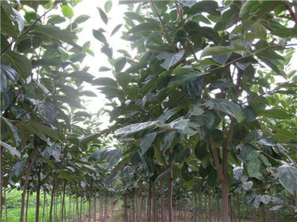 新东阳甜柿子树适合四。川省种的柿子树苗。品种