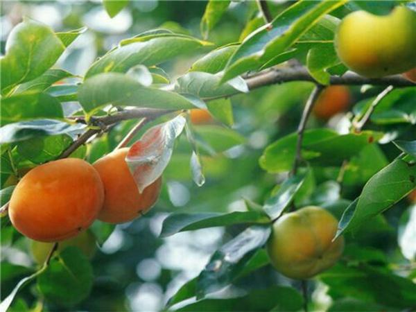 。新东阳甜柿。子树适合四川省种的柿子树苗品种