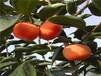 合柿子苗最适合福建省种的柿子树苗品种