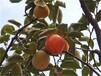 新東陽甜柿子樹河南省柿子樹苗