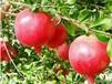 红如意石榴苗幼苗定植管理技术