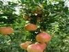 泰山紅石榴苗最受民眾歡迎的品種介紹