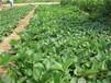 晶玉草莓苗授粉树的最佳品种选择