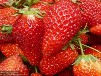 大将军草莓苗最常用的树形