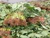 草莓柿子树苗经济效益最高的柿子