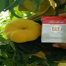 钻石金蜜桃苗5月份最好的桃树苗品种图片