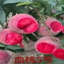 2公分桃苗最新品种桃树苗图片