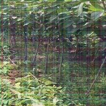新品种樱桃苗新品种樱桃苗采用小龙干技术的要点图片