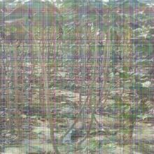 拉宾斯樱桃树苗拉宾斯樱桃树苗种植栽培密度图片