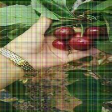 意大利早红樱桃树苗意大利早红樱桃树苗管理技术图片