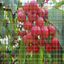 美国一号樱桃树苗美国一号樱桃树苗最适合山东省种的樱桃树苗品种图片